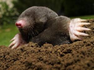 Got Moles Call C.R.N.A.C