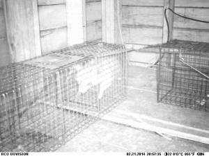 Raccoon Going in caught on Cam