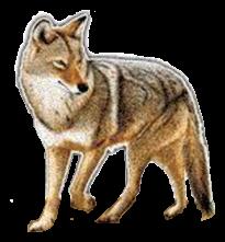 coyote23