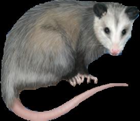 oppossum2